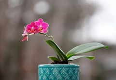 Mini Orchids (kkirby864) Tags: orchid mini plant pink purple nature flower outdoors