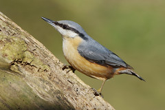 K32P2072c Nuthatch, Barnwell C P, March 2019 (bobchappell55) Tags: barnwellcountrypark northamptonshire wild wildlife nature bird nuthatch sittaeuropaea woodland
