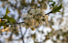 Spring / Весна (dmilokt) Tags: природа nature цветок flower plant сад garden весна spring dmilokt