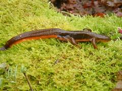 Rough-skinned Newt, Or Creek, Coquitlam