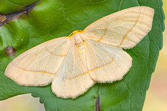 Moth (gatorlink) Tags: canon6dmarkii nature mt26exrtmacrotwinlite gainesville florida alachua forest swamp flash