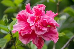 Pink Hibiscus Flower (Merrillie) Tags: shrub australia garden beautiful floral pink hibiscus flora outdoors pretty bloom flower petals nature