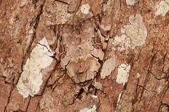 Red Underwing Moth (Catocala sp., Erebinae, Erebidae) (John Horstman (itchydogimages, SINOBUG)) Tags: insect macro china yunnan itchydogimages sinobug entomology canon moth lepidoptera erebinae erebidae crypsis camouflage brown fbipm tweet