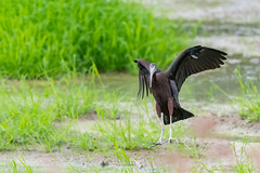 _5ND8050_LR_LOGO (Ray 'Wolverine' Li) Tags: hongkong bird birding birdwatch asia nature wildlife plegadisfalcinellus threskiornithidae pelecaniformes plegadis brauner sichler ibis