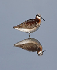 Wilson's Phalarope (tomblandford) Tags: wilsonsphalarope cheyennebottomsbirds cheyennebottoms kansasbirding kansaswetlands natureconservancy conservation nature wadingbirds shorebird protecttheenvironment protectpubliclands protectwildlife
