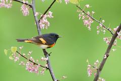 American Redstart - Shawnee, OH (www.studebakerstudio.com) Tags: americanredstartshawnee oh warbler songbird bird