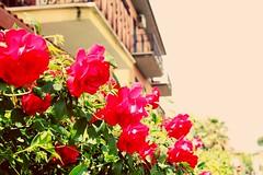 Cogli la rosa quando è il momento , che il tempo vola ..  E lo stesso fiore che oggi sboccia  Domani appassisce . (Nabel Grant) Tags: rose folwer flowers nature naturephotography