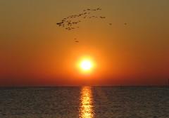 IMG_0030x (gzammarchi) Tags: italia paesaggio natura mare ravenna lidodidante alba sole riflesso animale fenicottero stormo volo monocrome