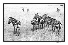 flock of zebras (harrypwt) Tags: harrypwt africa afrika borders framed 5dmarkii 28105 monochrome safari kenya animal savannah zebras