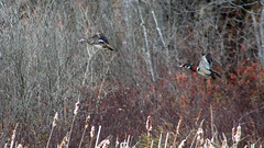 woodDucks3 (GrfxDziner) Tags: wood duck aix sponsa grfxdziner dc kerimccarthydrive gwennie2006 dcmemorialfoundation canon rebel t6 rebelt6 eos efs 75300mm