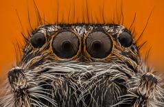Spider (cecliii) Tags: ceclii macro extrememacro insect animals spider semiplan zeisssemiplan63x nikon nikond3400 zerenestacker photoshop stack