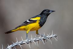 Scott's Oriole (male) (Eric Gofreed) Tags: arizona mybackyard oriole scottsoriole sedona villageofoakcreek