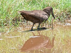 500_4001 (Bird Brian) Tags: hamerkop