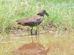 500_4002 (Bird Brian) Tags: hamerkop