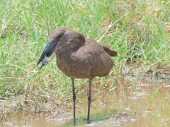 500_4009 (Bird Brian) Tags: hamerkop