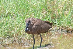 500_4015 (Bird Brian) Tags: hamerkop