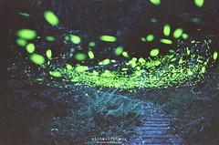 夜太美 ([M!chael]) Tags: nikon fm2 nikkor 5014 ai kodak 500t 5219 電影底片 film moviefilm motionpicturemoviefilm taiwan firefly 火金姑 螢火蟲 night