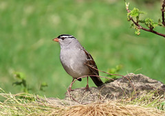White-Crowned Sparrow (Meryl Raddatz) Tags: bird sparrow whitecrownedsparrow nature naturephotography canada spring her