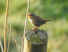 Wren in fine voice this morning (Poppy1385) Tags: wren bird