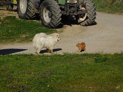 Benji lässt Otto nicht aus den Augen (elisabeth.mcghee) Tags: katze kater cat hund dog weiss white rot red getigert kampf fight animals tiere oberpfalz unterbibrach upperpalatinate