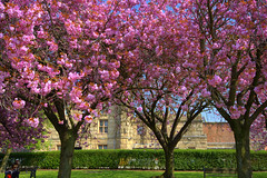 Pink Spring trees in Preston (Tony Worrall) Tags: spring tree pink nature blossom color colours natural outdoors cherryblossom bloom flowers grow plants lancslife preston lancs lancashire city welovethenorth nw northwest north update place location uk england visit area attraction open stream tour country item greatbritain britain english british gb capture buy stock sell sale outside caught photo shoot shot picture captured ilobsterit instragram photosofpreston seasonal