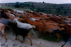 Back home in the twilight (davidgarciadorado) Tags: goats herd evening winter animals dog 35mmfilm olympusom zuikoom life nature