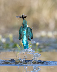 Kingy catch and climb (andy_harris62) Tags: kingfisher kingy bif birdinflight nature naturephotography wildlife wi nikon nikond850 nikkor300mmf28 outs outdoors colourful water splash