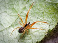 Anelossimus vittatus (m) (mickmassie) Tags: arachnida bostonmanorpark spider theridiidae
