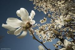 JSM_2708magnolia1jsm (JayEssEmm) Tags: flower flowers tree laowa 12mm wide angle tower hill botanic garden boylston massachusetts ma jsmcelvery mcelvery