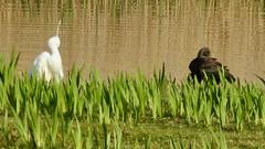 Glossy Ibis and Little Egret (LouisaHocking) Tags: marazion marsh cornwall southwest england wild wildlife british nature bird wildfowl waterfowl glossyibis ibis littleegret egret preening animalbehaviour