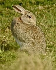 Wild Rabbit (LouisaHocking) Tags: marazion marsh cornwall southwest england wild wildlife british nature rabbit wildrabbit mammal animal preening grooming animalbehaviour