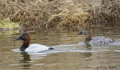 canvasback ducks (Pattys-photos) Tags: canvasback duck marketlakewildlifemanagementarea idaho pattypickett4748gmailcom pattypickett