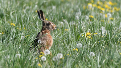 Hare, Hare, Hase (Lepus europaeus)-7159 (Kenneth Gerlach) Tags: animal animals brownhare danmark denmark dyr dänemark feldhase flowersplants hare landscape mammal mammalia outdoor pattedyr rabbit spring säugetiere wildlife natur nature