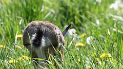 Hare, Hare, Hase (Lepus europaeus)-7162 (Kenneth Gerlach) Tags: animal animals brownhare danmark denmark dyr dänemark feldhase flowersplants hare landscape mammal mammalia outdoor pattedyr rabbit spring säugetiere wildlife natur nature