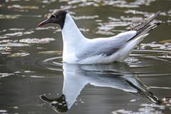 Я и моё отражение (Yuriy Kuzmenok) Tags: птицы птица чайка речнаячайка природа животные