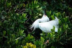 Egret Mating Ritual (Bernie Duhamel) Tags: snowyegret waterfowl shorebird naples naplesbeach florida bird bernie duhamel sonya9 sonyfe100400mm greatphotographers teamsony wildlife