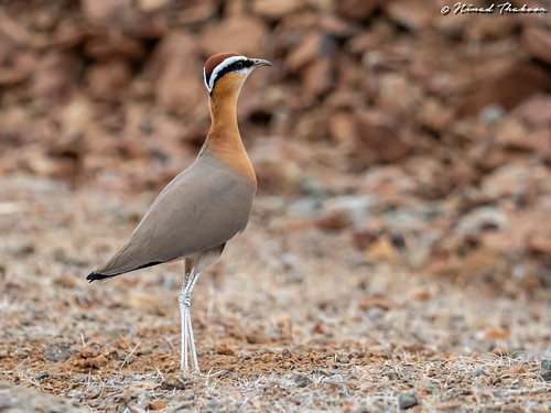 """Indian Courser (Lifer) • <a style=""""font-size:0.8em;"""" href=""""http://www.flickr.com/photos/59465790@N04/46926262284/"""" target=""""_blank"""">View on Flickr</a>"""