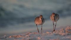 Sunrise Willets on Fort Pickens Beach (flintframer) Tags: florida shore birds willet sunrise fort pickens wow dattilo nature wildlife canon eos 7d markii ef600mm
