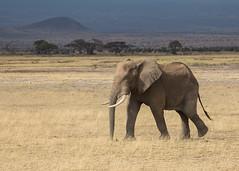Elephant on the plains (TenPinPhil) Tags: africa 2013 safari philipharris tenpinphil canon kenya animals nature wildlife