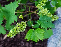 Concord Grape Flowers (SweetCreek) Tags: grape vine nature flower spring fruit vineyard green healthy leaf outdoor concord outside agriculture foliage grow gardening cultivation budding grapevine grapes blossom vines