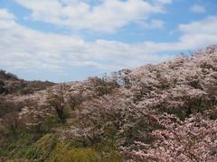 on the hill (murozo) Tags: hamadate park yurihonjo akita japan cherry blossom sakura spring sky hill cloud 桜 花 春 木 丘 雲 空 秋田 由利本荘 日本 浜館公園