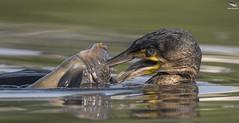 Cormorant (Mick Erwin) Tags: cormorant fishing fish nikon afs 600mm f4e fl ed vr lens tc14e teleconverter iii d850 mick erwin stoke trent staffordshire wildlife nature