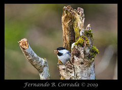 Black-capped Chickadee (2113) (fbc57) Tags: nikon500f56epfedvrtc14x nikond850 vermont waterbury littleriverstatepark paridae birds chickadees poecileatricapillus blackcappedchickadee
