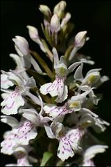 Dactylorhiza maculata - 133/365