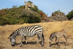 Mother and Baby Zebra (Pavlo Kuzyk) Tags: zebras animals animalplanet island safari africa canon