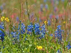P1010197 -1R (hyphy2008) Tags: brenham texas wildflowers bluebonnets