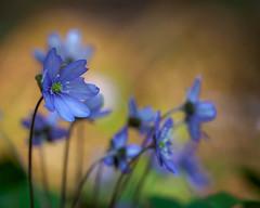 Hepatica nobilis (Fjällkantsbon) Tags: sverige högakusten växter ångermanland blommor evamårtensson skuleskogensnationalpark blåsippa angermanland hogakusten bjästa västernorrlandslän