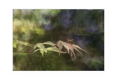 Spring Highlights. (muddlemaker1967) Tags: hampshire nature photography icm multiple exposure acer highlights colours fujifilm xt2 fujinon xf 1855mm f284 r lm ois