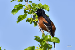Orchard Oriole (jt893x) Tags: 150600mm bird breeding d500 icterusspurius jt893x male nikon nikond500 orchardoriole oriole sigma sigma150600mmf563dgoshsms songbird thesunshinegroup coth alittlebeauty coth5