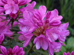 """The Rhododendron """"Graziella"""", new to our garden. (GABOLY) Tags: ourgardenplantsrhododendronkentengland ukmay2019"""